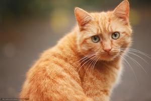 Изображение - Рыжие кошки обзор пород и 32 фото proxy?url=https%3A%2F%2Fvashasobaka.ru%2Fwp-content%2Fauploads%2F249813%2Fryzhii-kot