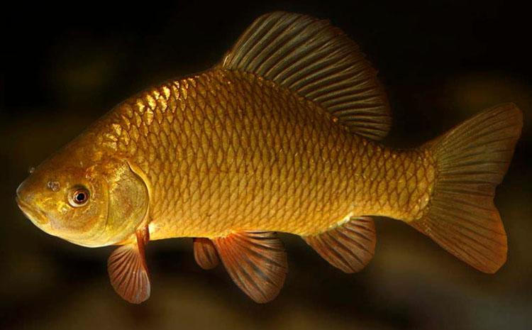 Ловись карась, золотой и серебряный... все о рыбе карась
