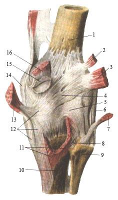 Изображение - Суставные поверхности коленного сустава proxy?url=https%3A%2F%2Fworks.doklad.ru%2Fimages%2FLr2_hqPpEV8%2F3d27dc54