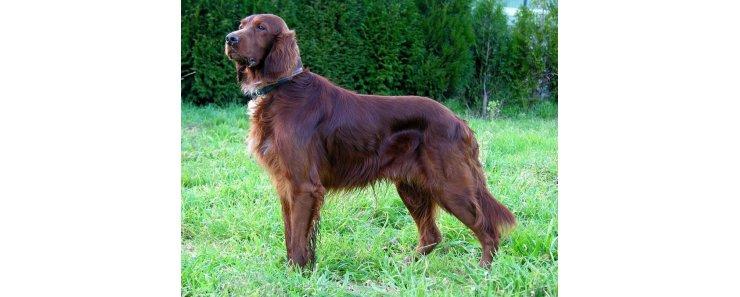 Изображение - Ирландский сеттер - любимая собака гарри трумэна proxy?url=https%3A%2F%2Fwww.petspoint.ru%2Fthumb%2F740x297xIN%2Fupload%2Fiblock%2F6af%2F6af91026b1488e21a0c06e498df92cbc
