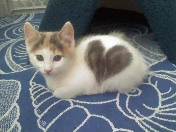 Изображение - Самые невероятные окрасы наших любимцев – кошек proxy?url=https%3A%2F%2Fxoxo.ru%2Fwp-content%2Fuploads%2F2017%2F02%2FKotyonok-s-serdechkom