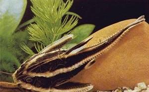 Изображение - Сомики аквариумные — условия их содержания и правила ухода proxy?url=https%3A%2F%2Fzoograf.guru%2Fwp-content%2Fauploads%2F243644%2Fvidy-akvariumnyh-somikov-usloviya-soderzhaniya-i-foto