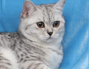Изображение - Чем в домашних условиях кормить кошку британской породы proxy?url=https%3A%2F%2Fzoolog.guru%2Fimages%2F87644%2Fbritancat