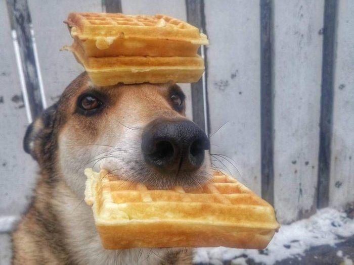 Изображение - Хозяин сказал, что печеньку ронять нельзя собаки с прекрасным чувством баланса proxy?url=https%3A%2F%2Fzoolog.guru%2Fwp-content%2Fuploads%2F2018%2F09%2Fpost_5b9130bcb3ffa-700x525