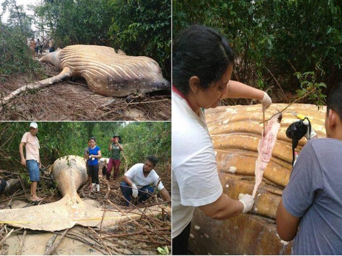 Изображение - Среди бразильских джунглей амазонки нашли тушу десятитонного кита proxy?url=https%3A%2F%2Fzoolog.guru%2Fwp-content%2Fuploads%2F2019%2F02%2Fpost_5c76601b4de73-700x525