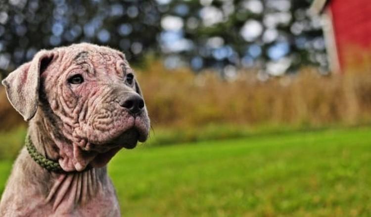 Изображение - Заразен ли демодекоз у собак proxy?url=https%3A%2F%2Fzootyt.ru%2Fwp-content%2Fuploads%2F2017%2F09%2Fshhenok-s-demodekozom