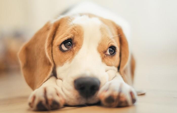 Изображение - Анализ на аллергию на собак особенности тестирования proxy?url=https%3A%2F%2Fzveridoma.ru%2Fwp-content%2Fuploads%2F2017%2F10%2F1-14